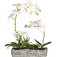Moth orchid arrangement in a polyresin bowl