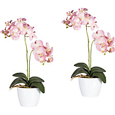 Moth orchid in a white ceramic pot