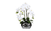 Moth orchid in an oval vase